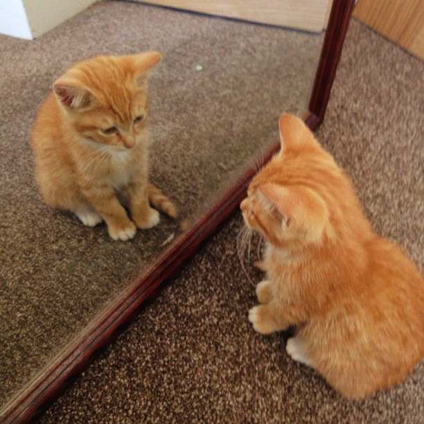 Garfield, cute ginger kitten, mirror, reflection