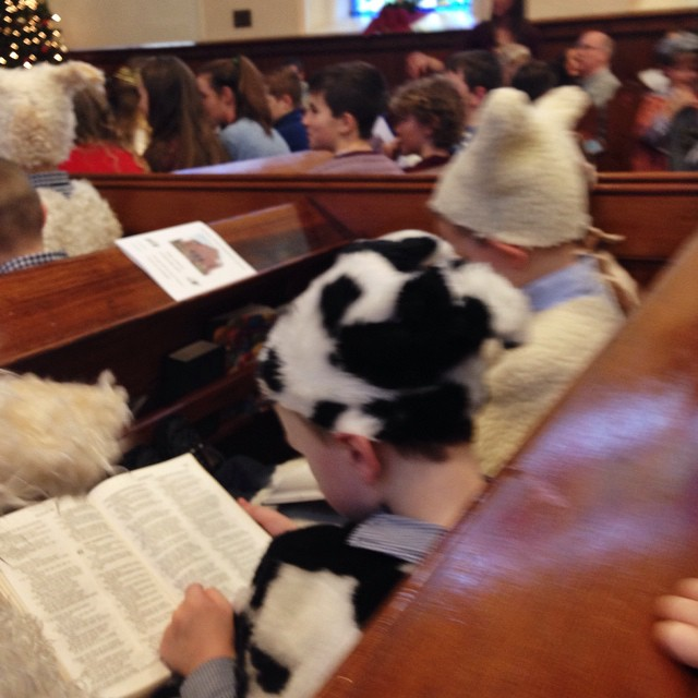 Cows and sheep ready for the nativity at Seymour St Methodist Lisburn