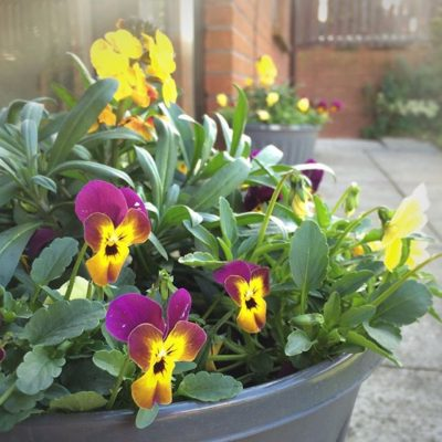 Pansies in the back garden