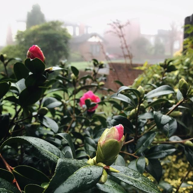 Still foggy here today, but our camellia is starting to bloom